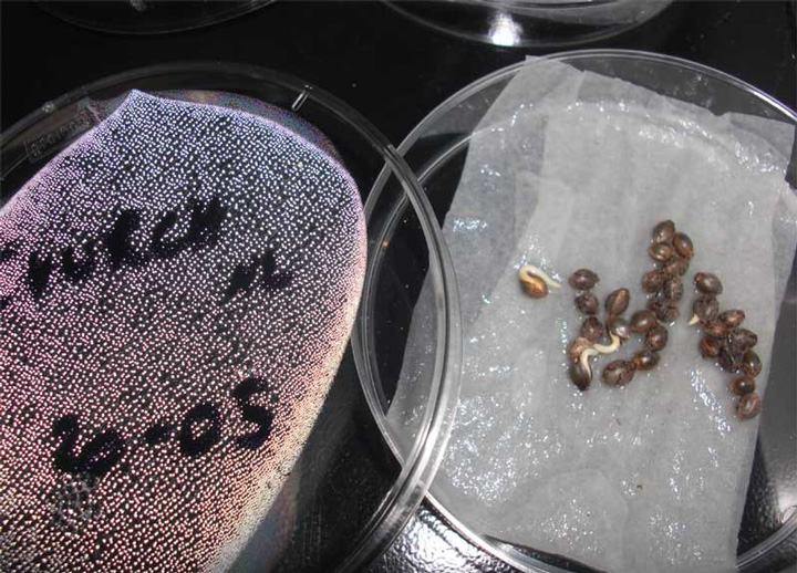 coco seed germination lab Seed germination processes and requirements d lab connection: turgor pressure the processes of seed germination begin with the imbibition of water.